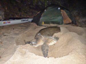 Freya hoffmeister turtle