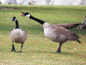 Canada Geese in Deep Cove