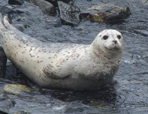 Harbour Seal in Deep Cove