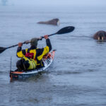 Walruses with kayaker at Svalbard